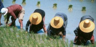 rice filed farmers