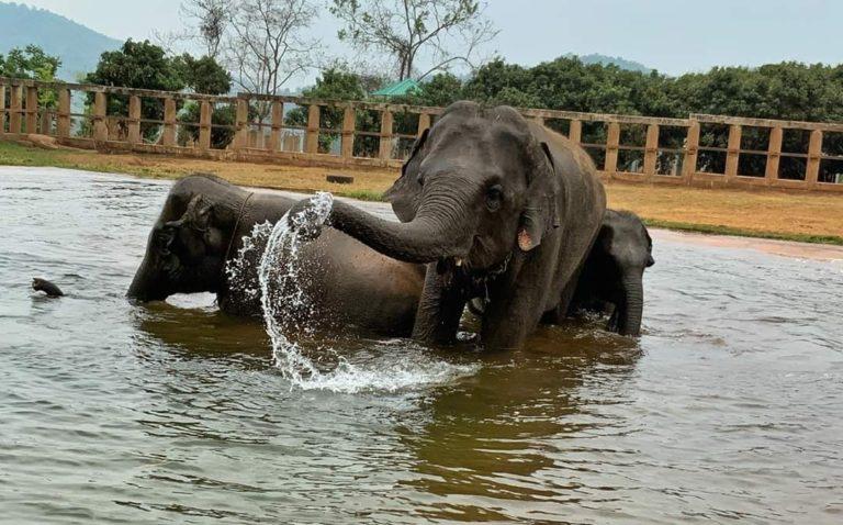 THAÏLANDE – CHIANG MAI : Le Covid affame les éléphants de Chiang Mai