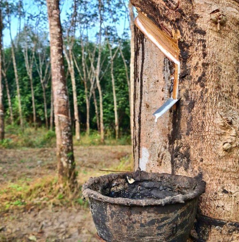 THAÏLANDE – ÉCONOMIE : Prix du caoutchouc garantis pour les agriculteurs thaïlandais